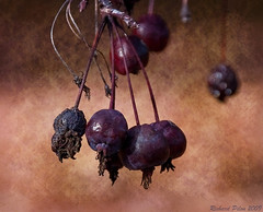 Fall Fruit (Richard Pilon) Tags: autumn friends tree fall texture fruit club nikon ngc crabapple d90