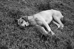ces_uel (Amanda Truss /clash) Tags: brazil dog chien amanda co brasil canon photography clash perro cachorro universidade xsi inu uel truss 450d canon450d canoneos450d canonrebelxsi canonxsi amandatruss wwwflickrcomclash amandatrussfotografa falarfacilqueroverlatir falarefacilqueroverlatir
