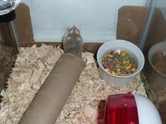December 09 015 (supernaturalfan90) Tags: dwarf hamsters robo
