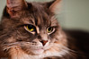 12/16/2009 (Jon Schusteritsch) Tags: portrait ny cute cat 50mm furry nikon pretty kitty fluffy longisland whiskers mainecoon sidney ruff mane afs muzzle catseyes longhaired shallowdof catportrait nikkor50mmf14 d90 primelens nikkor50mmf14g graro