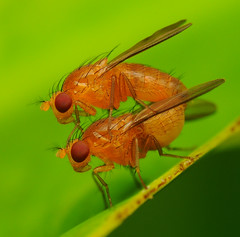 A Fruitful Saturday Afternoon (jaiprox) Tags: orange macro fly flies jai bukit fruitflies merah insectphotography macrolife jaiprox