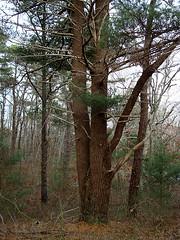 cape cod, ma (nursenicole329) Tags: trees love flora capecod