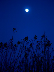 Moon in grass (raphic :)) Tags: blue sky moon grass lumix panasonic niebieski ksiyc trawa niebo raphic fz8 dmcfz8