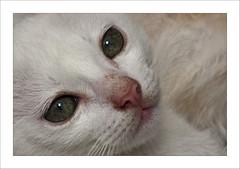 Um leozinho em Paranapiacaba (FlLopes) Tags: brasil cat kitten gato filhote whitecat paranapiacaba gatobranco