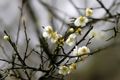Plum (ddsnet) Tags: plant flower sony plum  900        nationaltsinghuauniversity 900