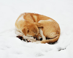 Homeless Paws (E.L.A) Tags: winter sleeping dog pets snow cold horizontal closeup turkey outdoors photography europe day homeless ab nopeople istanbul curledup relaxation domesticanimals gettyimages oneanimal colorimage animalthemes nikond80 saariysqualitypictures