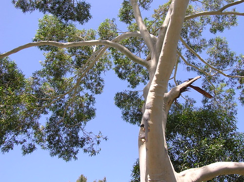 Gum Tree From Katiesw1 on Flickr