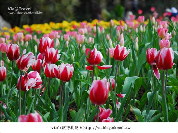 【鬱金香花季】桃源仙谷鬱金香花季開花囉24