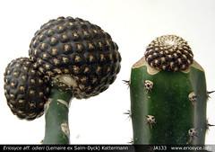 JA133 Eriosyce odieri (Spiniflores) Tags: grafting odieri injerto pereskiopsis eriosyceodieri ja133