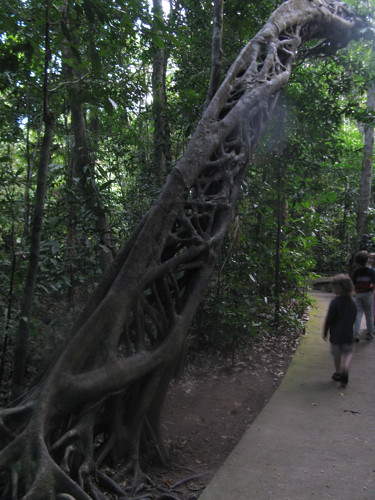 Strangler Fig (by Simbel_myne)