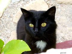 Seitani, Samos ( doro 51 ) Tags: tiere katzen samos samosseptokt09