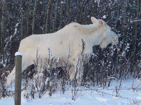 SnowMoose4