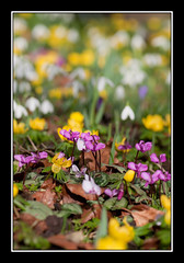 _DSC915124 copyF (Full Moon Images) Tags: park winter gardens snowdrops cyclamen snowdrop chippenham aconite