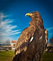 Eagle Eye.... (Kyriakos Michailidis) Tags: bird nature animal nikon eagle sigma greece 1855 drama d60  nikond60 colorphotoaward greekphotographer   vegaslyra