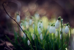 Mess of Me (ingephotography) Tags: 50mm bokeh snowdrop