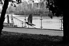 piccione crayon (g_u) Tags: gu ugo firenze florence lungarnoaldomoro arno fiume river piccioni pigeons bn w bianco nero