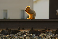 'Squirrely R. Railfan'  - Breakfast on the Rails! (p.csizmadia) Tags: railroad morning ohio cute breakfast squirrel tracks rail antics railfan munching vermilion squirrely csizmadia stoplooklisten ontracks pcsizmadia