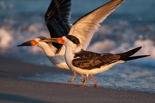 Two Black Skimmers