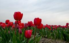 Tulips (taminsea) Tags: flowers red flower tulips tulip utata mountvernon 2010 skagitvalley skagitvalleytulipfestival tulipfestival taminsea