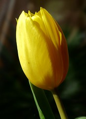 yellow yellow (Cajaflez) Tags: flower yellow tulip bol geel bloem tulp bulp mimamorflowers awesomeblossoms saariysqualitypictures