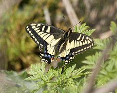 Tiger Swallowtail Photo