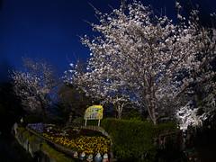 6126さん撮影の夜桜(王子動物園)b