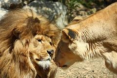 Re leone...e consorte!!! (barduz) Tags: beautiful canon e re roberto leone animali rulez romantica consorte emozione eos450d canon60d lifebeautiful canoneos450d campigli barduz barduz80 robertocampigli
