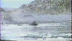 880203 Dawn with Elephant Seals (rona.h) Tags: video 1988 antarctica february elephantseals cloudnine ronah