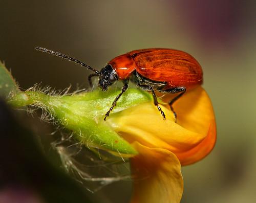 beetle : Exosoma lusitanicum