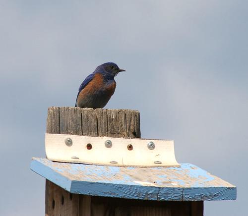 Western Bluebird - Umtanum Road