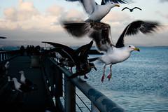 Up Up and Away (YBowyer Photography) Tags: ocean sf sanfrancisco california ca camera seagulls bird canon photography rebel pier photo wings seagull flight bayarea amature san xti canonrebelxti canonxticanonrebel