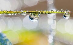 Gouttes  la lumire matinale (2). (gille33) Tags: macro nature drops waterdrop drop droplet waterdrops goutte sonydslra700 mygearandme mygearandmepremium mygearandmebronze gillesremus infinitexposure