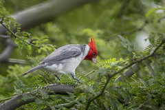 Red- crested Cardinal (Peter Stahl Photography) Tags: redcrestedcardinal cardinal hawaii maui outdoors winter tanager