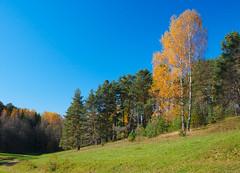 Russian wild autumn landscape with a field and birches (czdistagon.com) Tags: autumn nature zeiss landscape day clear explore contax cz 3514 distagon platinumphoto carlzzeiss yourwonderland aleksandrmatveev czcontaxdistagon3514 czdistagon czdistagoncom