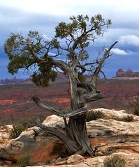 Old Gnarly (Birdman of El Paso) Tags: tree monument dave geotagged texas tx joe el lila valley paso gnarled wyman birdman soop grossinger geo:lat=37065588 geo:lon=110064468