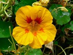 Naturally Wild (Sandy Austin) Tags: flowers newzealand yellow auckland northisland wildflowers tropaeolum nasturtium edibleflowers stanleybay panasoniclumixdmcfz5 northshorecity sandyaustin