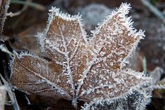 Winter decorations (atranswe) Tags: macro nature frost sweden natur mapleleaf sverige mothernature halland falkenberg naturesart rimfrost svenskafotografer nikond80 lnnlv atranswe svenskaamatrfotografer photosofqualitytosmileabout dsc9140 56530n1230e lenssigma1770 20091202