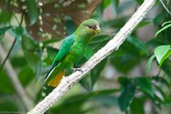 Touit surdus - Golden-tailed Parrotlet (arthurgrosset) Tags: fbwnewbird fbwadded touitsurdus goldentailedparrotlet touitsurda
