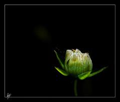 Una (Paco CT) Tags: white black flower blanco negro flor explore campanilla vegetal 2010 ltytr1 pacoct
