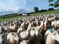 ewes at Scethrog (sheepkeeper33) Tags: wool evans sheep 33 breconbeacons lamb tracey ram powys ewe ovine sheepkeeper traceyevans sheepkeeper33 httpwwwhillradnorcouk