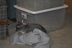 20100109_14 (sensitivebunnyguy) Tags: dwarf lopear netherlanddwarfrabbit cutebunnies cuterabbits cuterabbitphotos cutebunnyphotos bunnyvideos