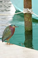 Fat Green Heron on the pier