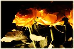 Yellow Rose (Pachibro Portfolio) Tags: flowers rose yellow fleurs canon eos leaf rosa petal giallo foglia fiore petalo rosaceae 400d canoneos400d scattifotografici pasqualinobrodella pachibroportfolio pachibro