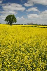 A bit of zing (lee.stephens) Tags: tree yellow clouds nikon rape lee stephens oilseed zing polariser d80