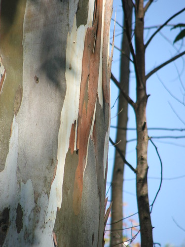 Eucalyptus trees-  Trek in the hills