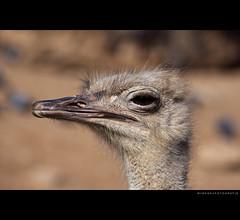 Standing tall ( WimKok) Tags: barcelona bird canon zoo spain ostrich espana catalunya vogel spanje lightroom dierentuin struisvogel barcelonazoo eos50d abigfave