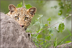 Cub in Cover (hvhe1) Tags: africa wild baby game nature animal animals rock cat southafrica cub wildlife safari leopard bigcat cover hiding predator wildcat borntobewild naturesfinest malamala specanimal animalkingdomelite hvhe1 hennievanheerden kikelezi