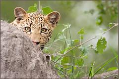 Cub in Cover (hvhe1) Tags: africa wild baby game nature animal animals rock cat southafrica cub wildlife safari leopard bigcat cover hiding predator wildcat borntobewild naturesfinest malamala specanimal animalkingdomelite hvhe1 hennievanheerden kikelezi