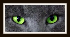 HYPNOSE (Denis NOL France) Tags: cats look hair eyes chat yeux alsace poil hypnosis 2010 regard dnoelphotographie denisnolfrance