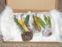 Diverse Huernia & Stapelia (blumenbiene) Tags: plant succulent delivery lieferung stapelia sukkulenten sukkulente huernia ascleps